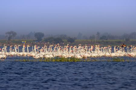 Greater Flamingos at Ujani Dam Backwaters near Bhigwan in Maharashtra, India.