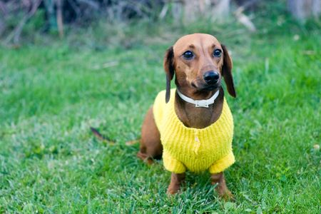 dwarfish: beautiful dwarfish dachshund in yellow jacket sitting on grass