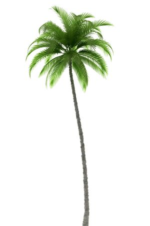 palm tree fruit: Palm tree isolated on white background with path
