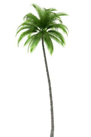palmeras: Palmera aisladas sobre fondo blanco con saturaci�n camino