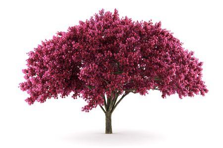 白い背景で隔離の桜