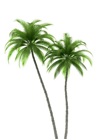two palm trees isolated on white background photo