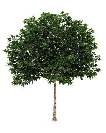 ash tree: Mountain Ash albero isolato su sfondo bianco Archivio Fotografico