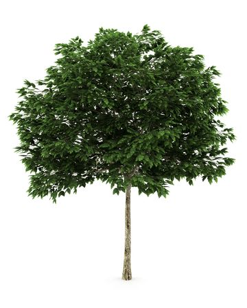 ash tree: mountain ash tree isolated on white background  Stock Photo