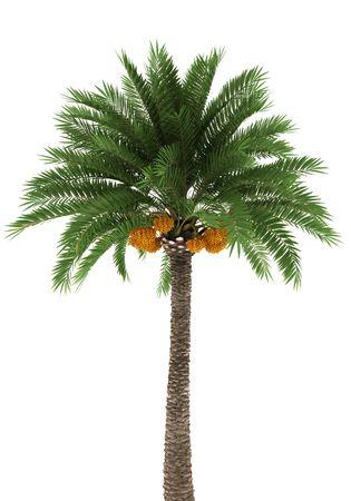 dactylifera: Palm tree