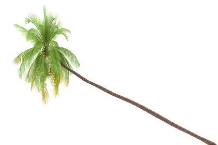 Palm tree isolated on white background Stock Photo - 8411888