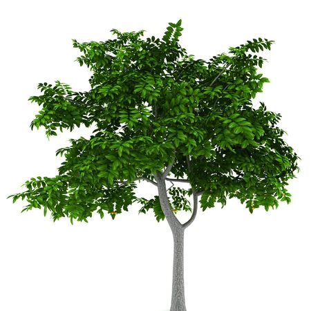 lemon tree: Lemon tree aislado en fondo blanco Foto de archivo
