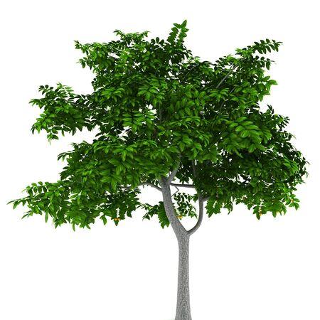 deciduous: lemon tree isolated on white background