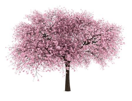 leafy trees: �rbol de cereza aislada sobre fondo blanco Foto de archivo