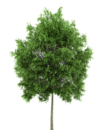 small-leaved lime tree isolated on white background Stock Photo - 9876356