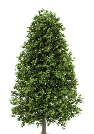 horse chestnut tree isolated on white background Stock Photo - 9876475