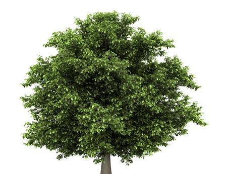 chestnut tree: horse chestnut tree isolated on white background