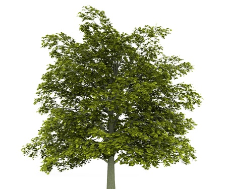 norway maple tree isolated on white background Stock Photo - 9876509