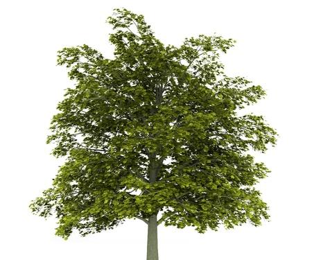 Spitzahorn Baum isoliert auf wei?em Hintergrund