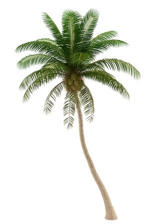 noix de coco: cocotier arbre isol� sur fond blanc