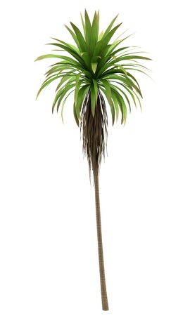 cordyline: Mountain Cabbage palm tree isolated on white background