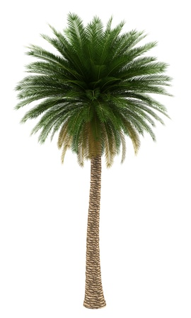 Isla Canarias palmera datilera aislada sobre fondo blanco