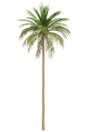 date tree: date palm tree isolated on white background