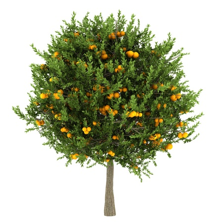 single tree: orange tree isolated on white background