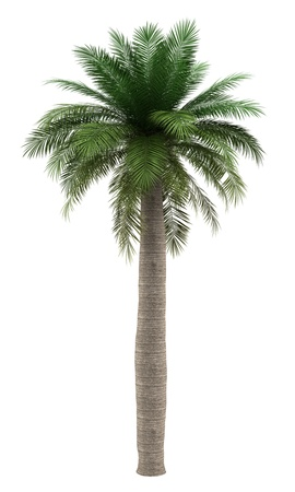 on palm tree: chilean wine palm tree isolated on white background