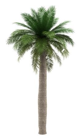 palmeras: �rbol de palma de vino chileno aisladas sobre fondo blanco Foto de archivo