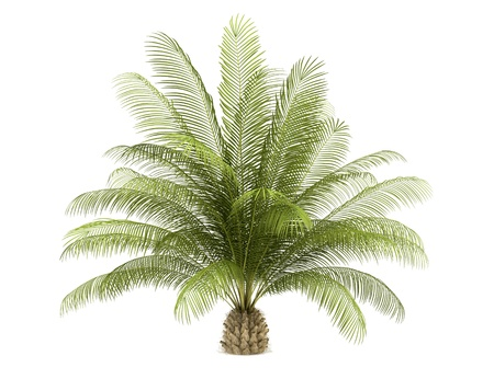 oil palm: oil palm tree isolated on white background