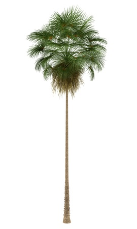 robusta: Mexican Fan palm tree isolated on white background