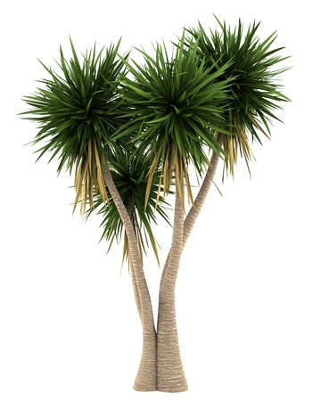 Yucca palm tree isolated on white background Stock Photo