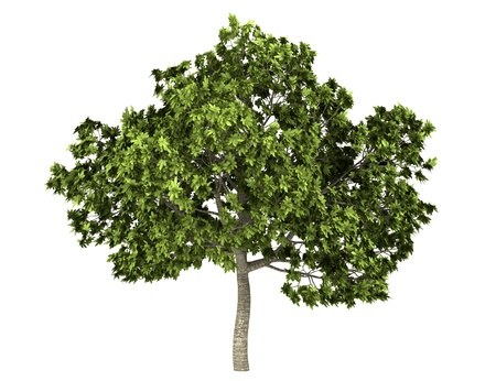 feigenbaum: Gemeinsame Feigenbaum isoliert auf wei�em Hintergrund