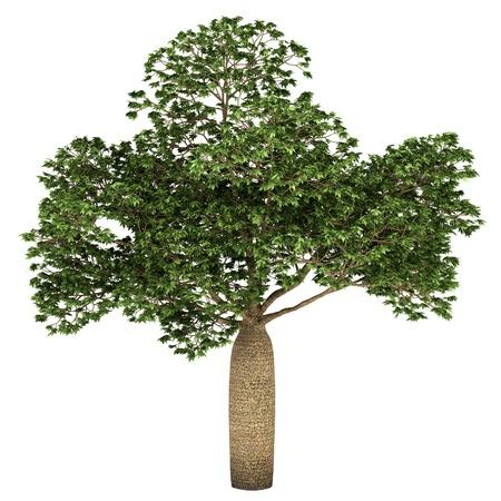 adansonia: Australian Boab tree isolated on white background Stock Photo