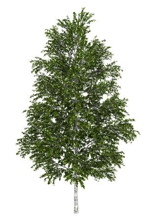 european white birch: european white birch tree isolated on white background Stock Photo