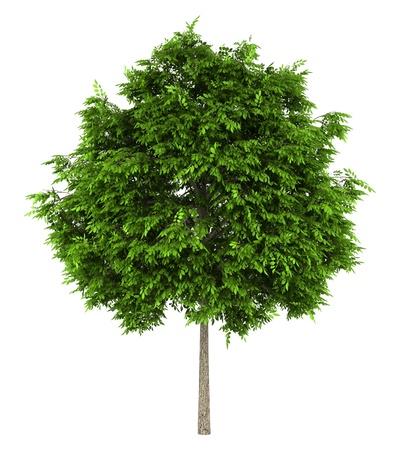 ash tree: frassino europeo isolato su sfondo bianco
