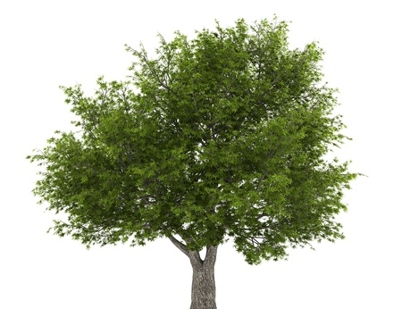 crack willow tree isolated on white background photo