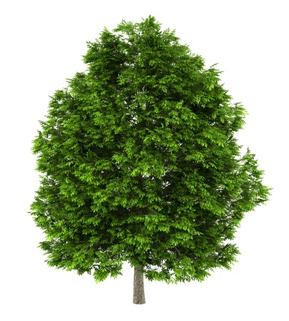 european ash tree isolated on white background