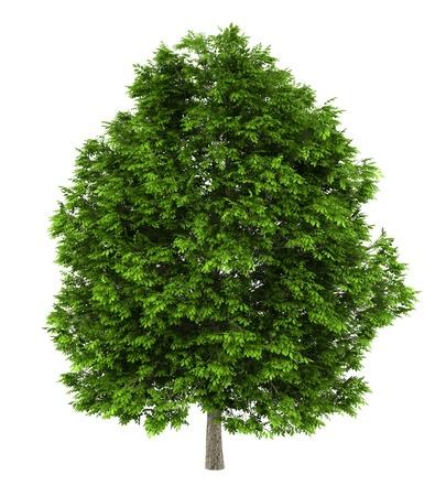 ash tree: frassino european isolato su sfondo bianco Archivio Fotografico