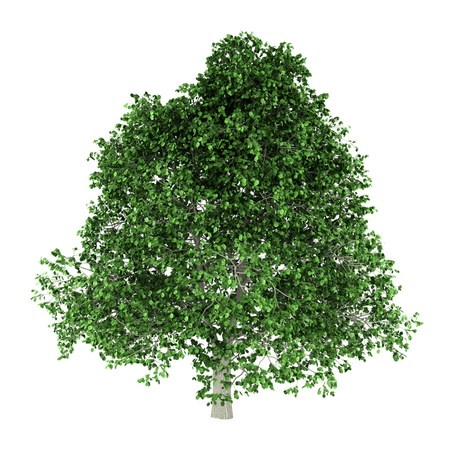 hornbeam: hornbeam tree isolated on white background