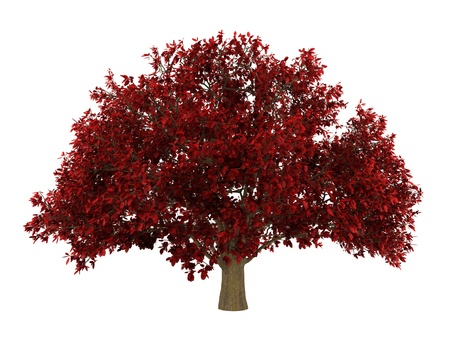 ironwood: persian ironwood tree isolated on white background