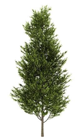 aspen tree: common aspen isolated on white background Stock Photo
