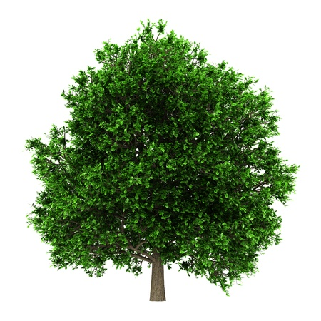 pedunculate oak tree isolated on white background photo