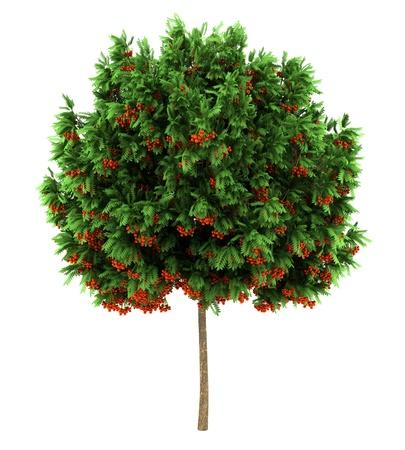 european rowan tree isolated on white background Stock Photo - 11967982