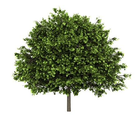 small-leaved lime tree isolated on white background Stock Photo - 11967989