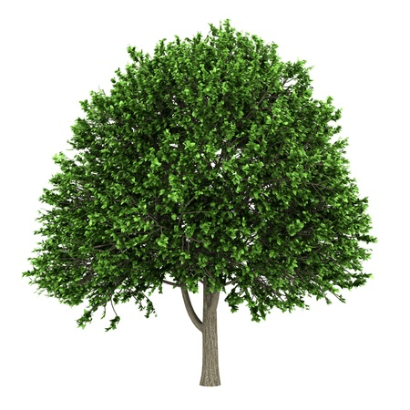 american elm tree isolated on white background Stock Photo