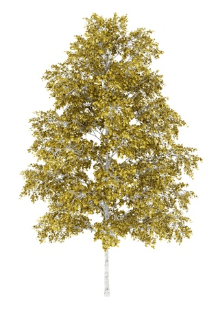 birch: european white birch tree isolated on white background Stock Photo