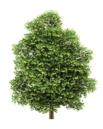 Kastanienbaum isoliert auf weißem Hintergrund