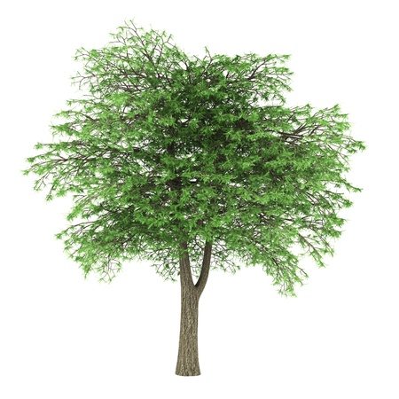 cedro: cedro del L�bano aislado sobre fondo blanco