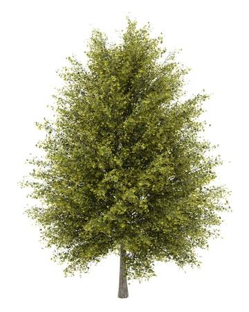 ginkgo: ginkgo tree isolated on white background Stock Photo