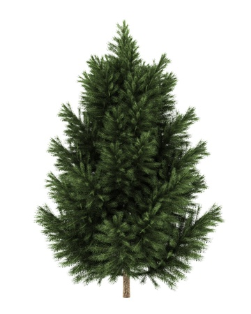 coniferous tree: european black pine tree isolated on white background Stock Photo