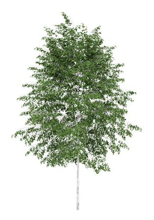 betula pendula: betulla d 'argento isolato su sfondo bianco