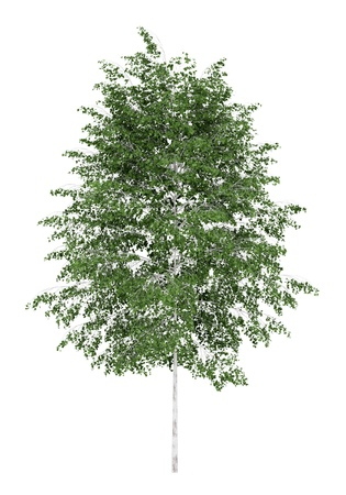 silver birch tree isolated on white background