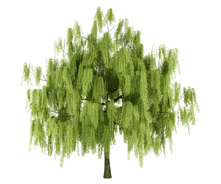 willow: willow tree isolated on white background Stock Photo